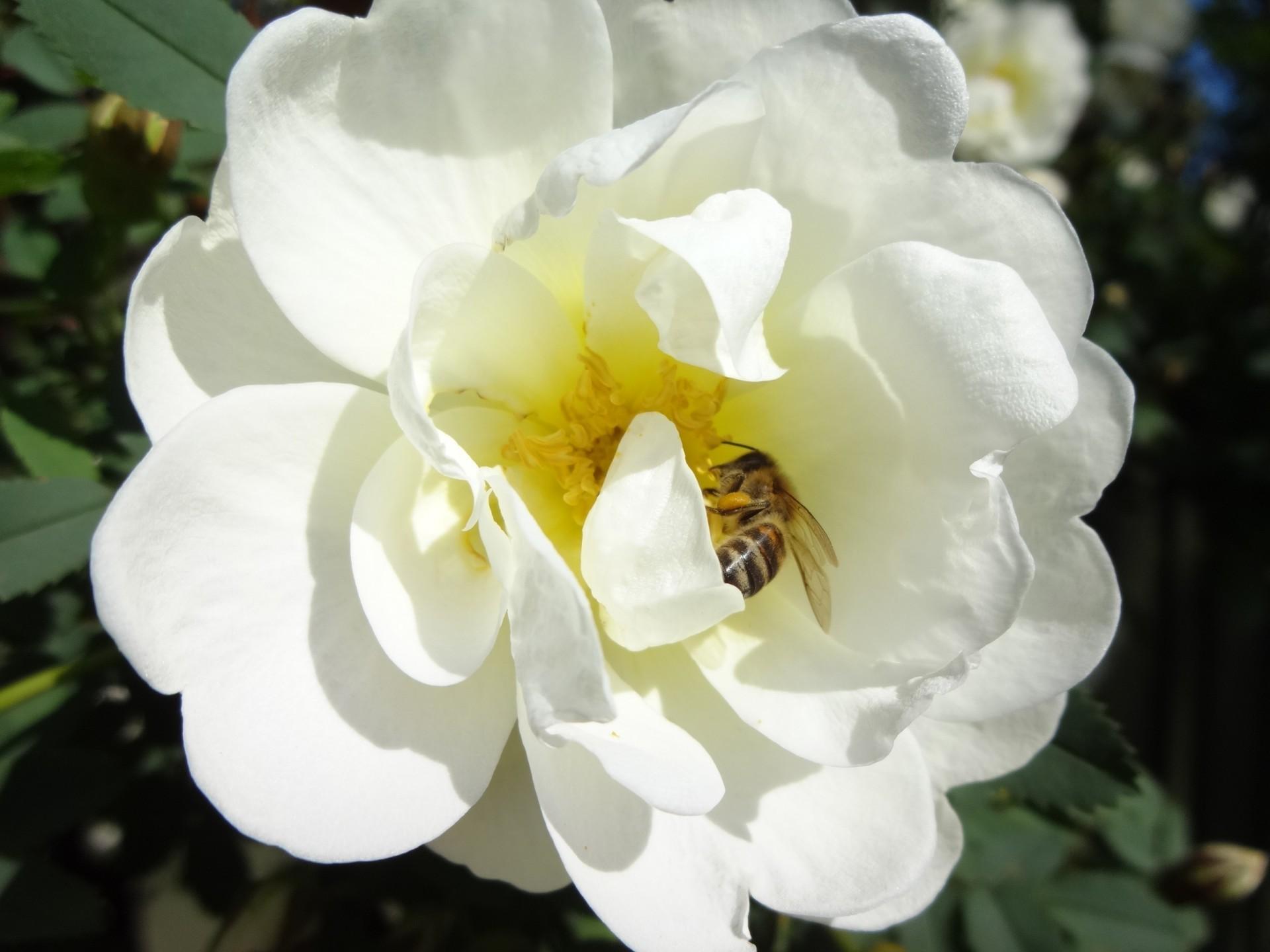 Kaikenkarvaiset öttiäiset pörräävät villisti juhannusruusun kukissa.