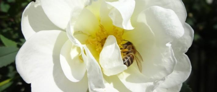 Juhannusruusu – koristepensaidemme piikikäs kaunotar