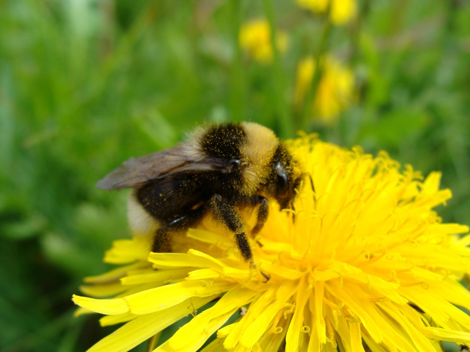 Voikukka on myös monien hyönteisten keväinen ravintolähde.