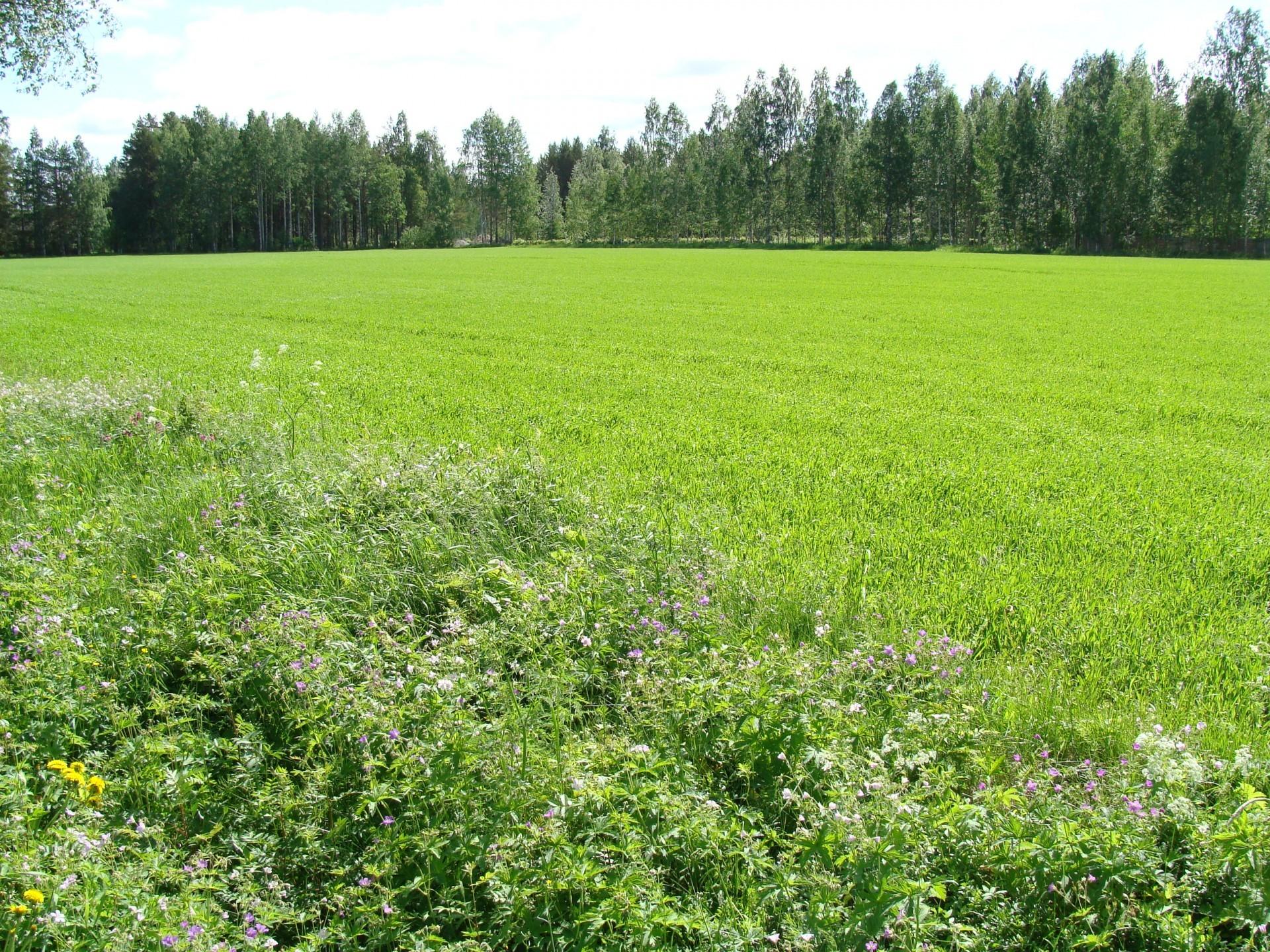 Nykypäivän tehomaatalus on heikentänyt ruislinnun pesintämahdollisuuksia myös Paltaniemen pelloilla.