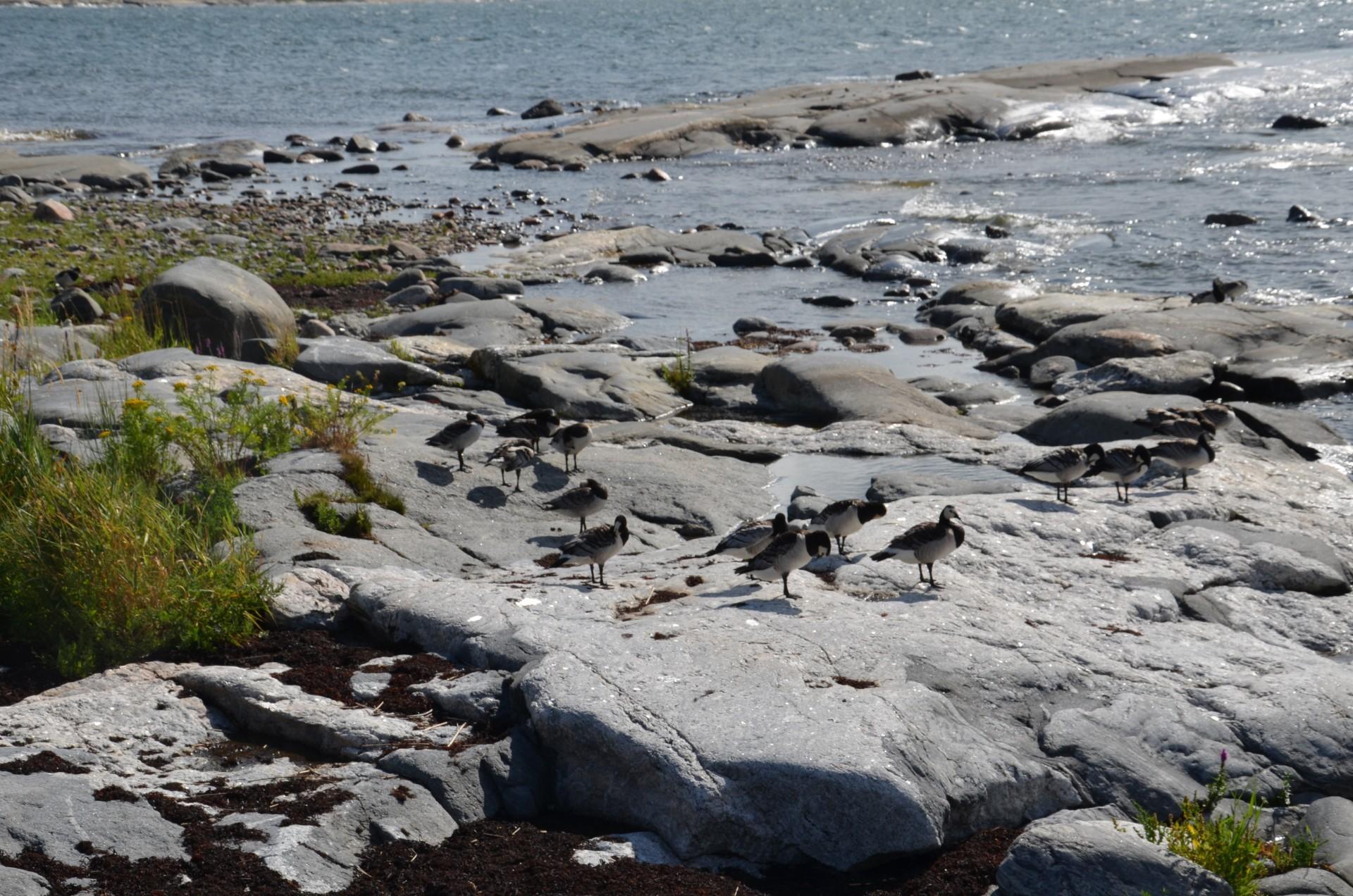 Valkoposkihanhia Kylmäpihlajan rantakallioilla