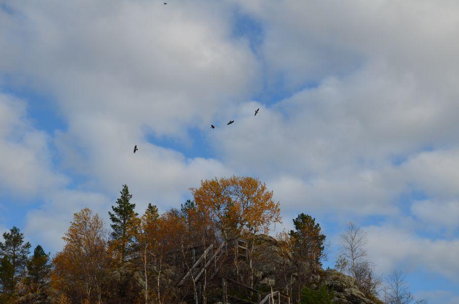 Korpit ja varikset sekä lokit liitelevät Ukonkiven yllä.