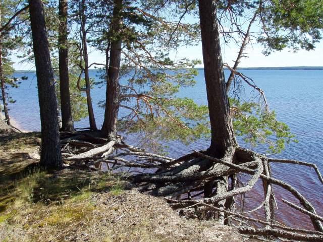 Saaren törmillä sinnittelevät ikiaikaiset kummituspetäjät, jotka lopulta vyöryvät järveen.