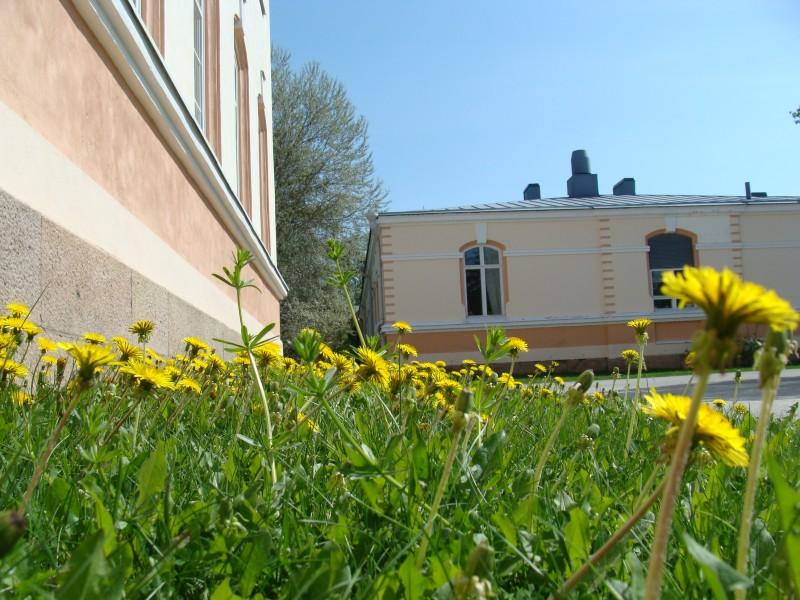 Voikukat ilmaantuvat toukokuussa teiden pientareille ja rakennusten eteläsivulle auringossa paistattelemaan.